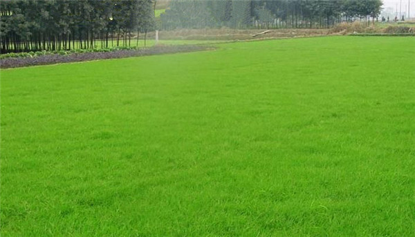 武汉绿化草坪有哪些优点