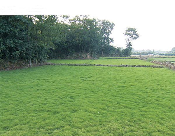 绿化草坪上不允许种蔬菜和水果的